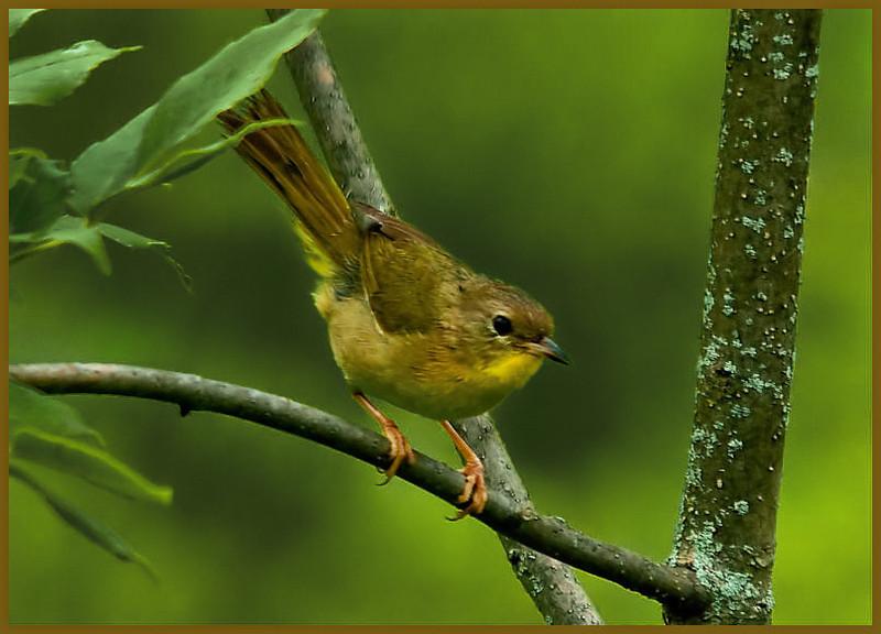 Common Yellowthroat (female)<br /> Saratoga Battlefield, NY