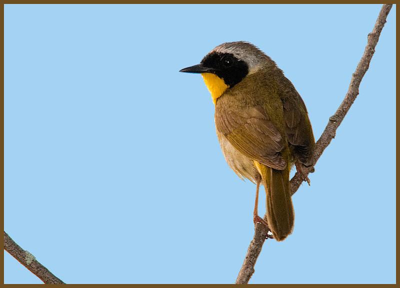 Common Yellowthroat<br /> Halfmoon Park, NY