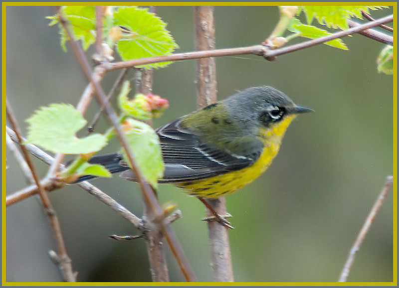 Magnolia Warbler, Magee Marsh, OH - 2011