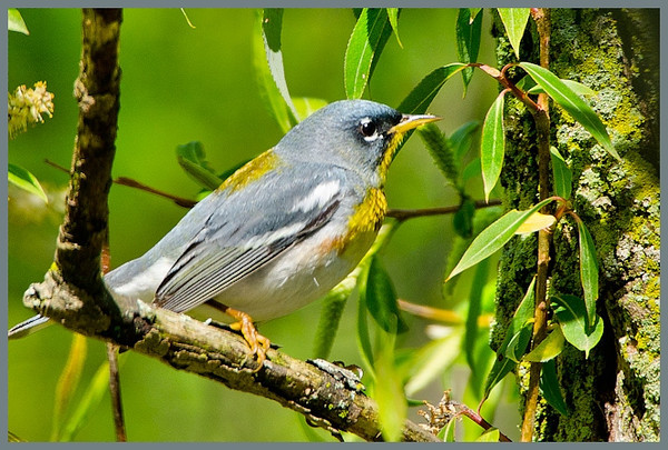 Northern Parula, Magee Marsh, OH.