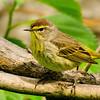 Pine Warbler, Magee Marsh, OH - 2012