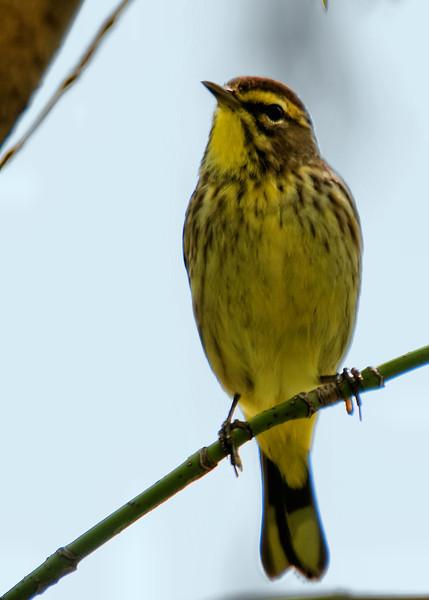 Pine Warbler, Magee Marsh, OH - 2011