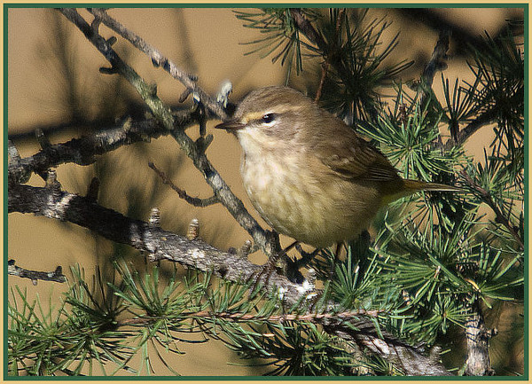 Palm Warbler (female)<br /> Lake Desolation