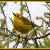 Yellow Warbler, Vischer Ferry NP, Clifton Park NY