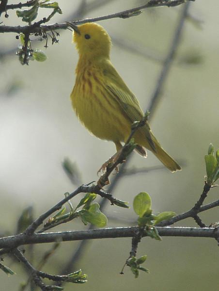 Yellow Warbler, VFNP, Clifton Park, NY