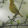 Yellow Warbler, VFNP, Clifton Park, NY