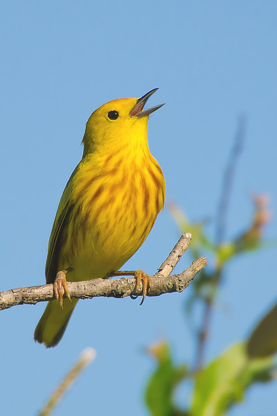 Yellow Warbler, Magee Marsh 2012