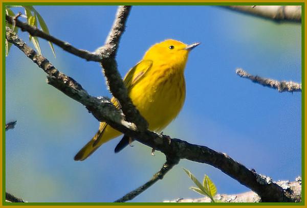 Yellow Warbler, VFNP, 5-7-10