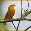 Yellow Warbler, VFNP 5-3-11