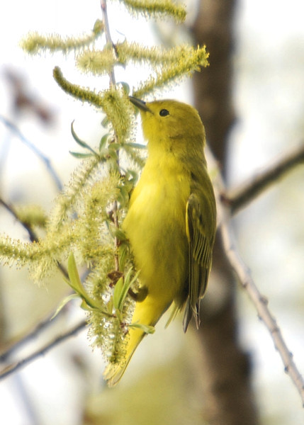 Yellow Warbler, VFNP 5-13-08