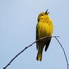 Yellow Warbler, VFNP