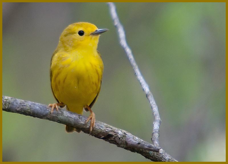 Yellow Warbler, VFNP, 5-3-11