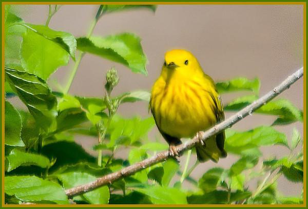 Yellow Warbler, VFNP 5-7-10