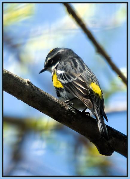 Yellow-rumped Warbler<br /> Vischer's Ferry Nature Preserve 2009