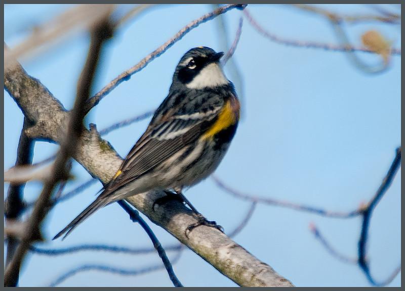 Yellow-rumped Warbler<br /> Vischer Ferry Nature Preserve -2011