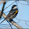 Yellow-rumped Warbler<br /> Vischer Ferry Nature Preserve -2011