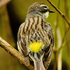 Yellow-rumped Warbler (female)<br /> Magee Marsh - 2012