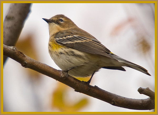 Yeliow-rumped Warbler<br /> Tomhannac Res., 2009