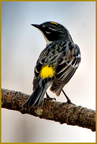 Yellow-rumped Warbler, Bob Meadow Creek Trail, Saratoga, NY 4-18-15