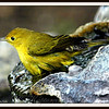 Male Yellow Warbler Bathing in Fountain
