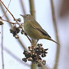 WRL Orange-crowned Warbler View 2