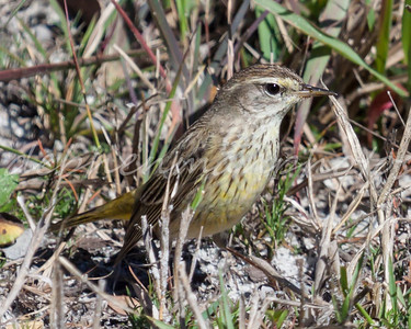 unknown bird4 sparrow type w yellow fl-8882