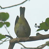 Mooned By An Orange-crowned Warbler