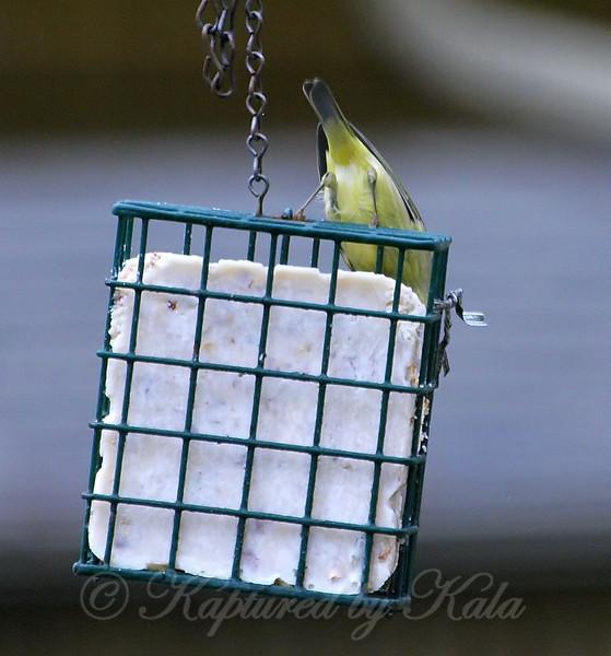 Orange-crowned Warbler 2014 View 2