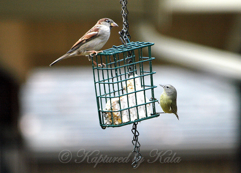 House Sparrow and Orange Crowned Warbler Sharing the Suet