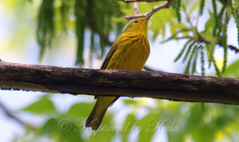 Beautiful Yellow Warbler