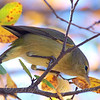 OC Warblers Are Back