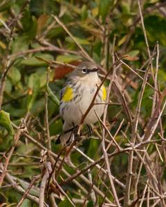 Yellow rumped Warbler in Georgia