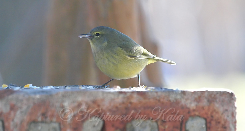 Warblers First Visit To The Birdseed View 1