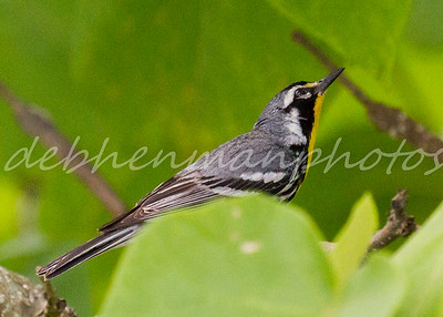 Yellow-throated Warbler 4