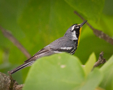 Yellow -throated Warbler 2