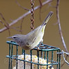 Orange-crowned Warbler On The Suet Basket