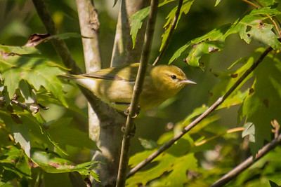 Tennessee Warbler 2