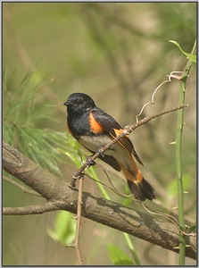 Redstart