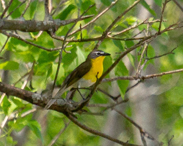 Yellow Breasted Chat 2