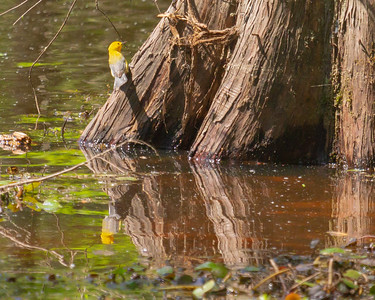 Prothonotary Warbler at Noxubee