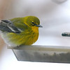 Pine Warbler On A Snowy Day