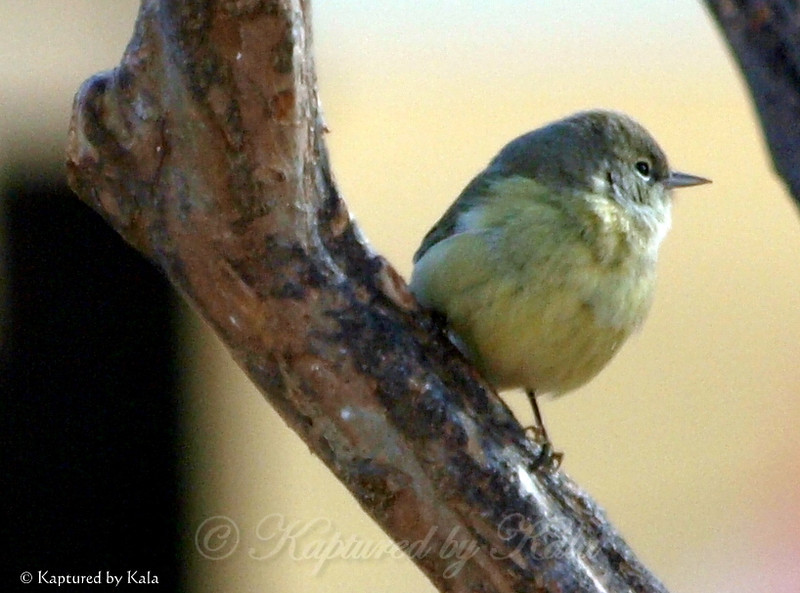 Orange Crowned Warbler Patiently Waiting For a Turn at the Suet