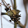 WRL Orange-crowned Warbler View 1