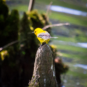 Prothonatary Warbler in MS in April
