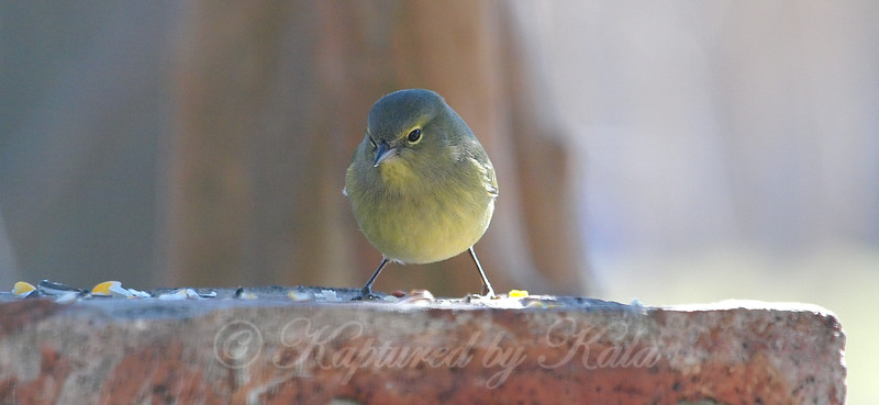 Warblers First Visit To The Birdseed View 3