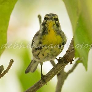 Warbler 3