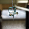 Orange Crowned Warbler Discovers the Suet
