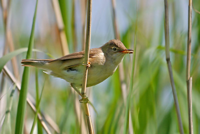 Reed Warbler (Acrocephalus scirpaceus), Stocker's Lake, Rickmansworth, Hertfordshire, 19/06/2012. Lots of these around today, this one was collecting food for nestlings, I think.