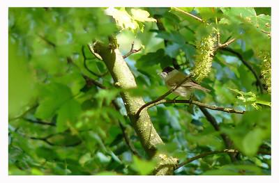 Blackcap (Sylvia atricapilla) [male], Hemel Hempstead, Hertfordshire, 04/05/2011.