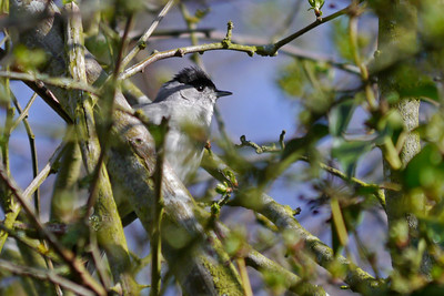 Blackcap (Sylvia atricapilla) [male], Wilstone reservoir, Hertfordshire, 04/04/2012. A typical view of this species, hiding amongst the branches, taking a breather between bursts of his scratchy song. The reservoirs were full of the sound of Blackcaps, Chiffchaff and Wren this morning all after mates and territory!